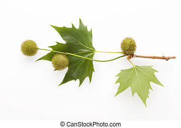Platanus leaves and berries - Platanus tree, sycamore leaves...