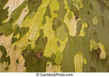 Platanus tree bark. - Platanus tree bark in Duivenvoorde in ...