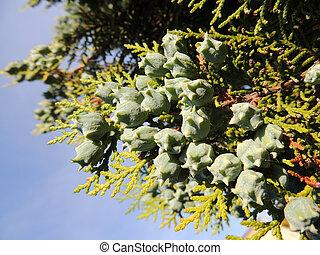 Platycladus east (Platycladus orientalis), cypress family