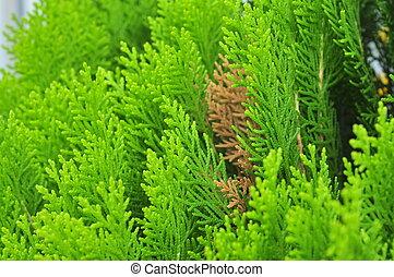Platycladus orientalis plant
