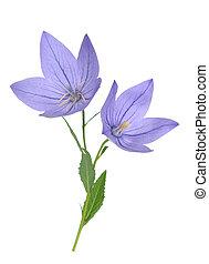 platycodon, sino flor