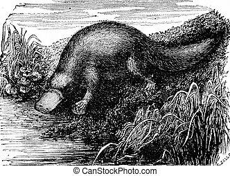 Platypus or Duck-billed platypus, vintage engraving. - ...