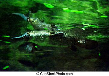 Platypus - Rare and elusive Australian duck billed platypus...