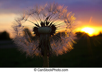 Play of light in the dandelion.