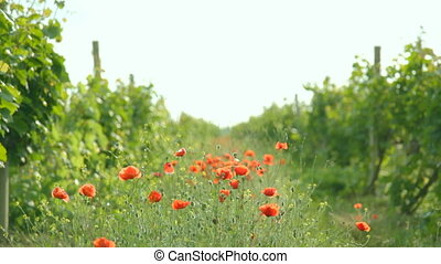 Play of wind with red poppies growi