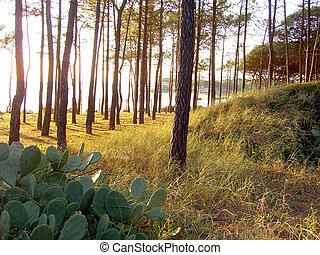 playa, árboles de pino