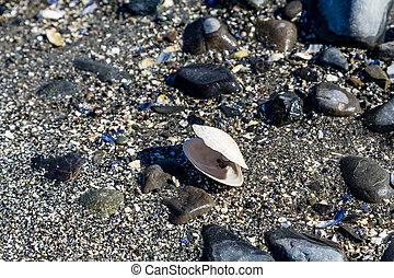 playa, almeja, blanco, cáscara, negro
