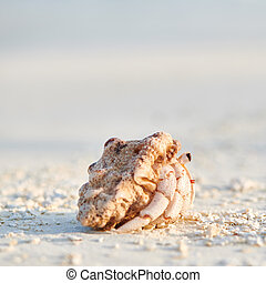 playa, cangrejo, ermitaño