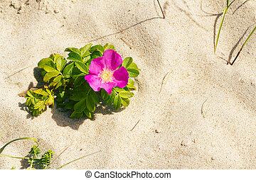 playa, perro, rosa