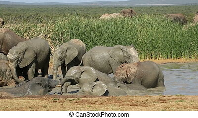 Playful African elephants