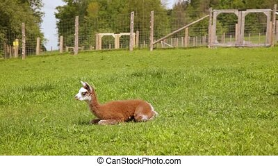 Videography featuring a playful alpaca, as he tries to sit and then roll around on the lush green arena, enclosed with fence, with greenery at back.