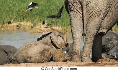 Playful baby African elephant (Loxodonta africana) with its...