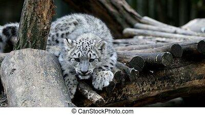 playful baby kitten of Snow Leopard cat, Irbis - playful...