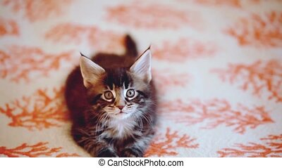 Playful black tabby color Maine coon kitten. 1920x1080. hd