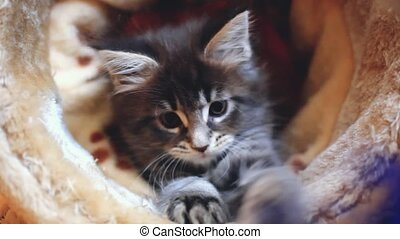 Playful blue tabby color Maine coon kitten.