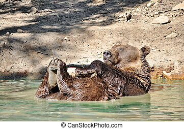 Playful brown bear in the water