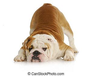 playful dog - english bulldog with reflection on white background