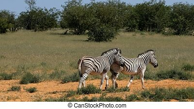 Playful Burchell's zebra in african bush, Etosha national Park, Namibia wildlife