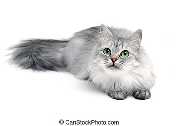 Grey long-hair cat with green eyes, focus on face