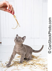 playful cat in the straw on a white wooden floor jumps, hunts, stands on its hind legs. T