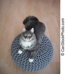 curious playful young blue tabby maine coon cat with white paws on round seat pouf looking up at camera indoors