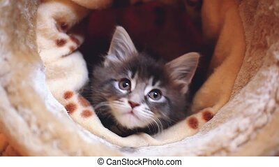 Playful cute blue tabby color Maine coon kitten. 1920x1080. hd