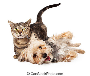 A cute and playful mixed breed terrier dog and a tabby cat laying together