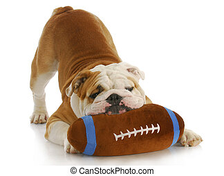 playful dog - english bulldog with stuffed football playing on white background