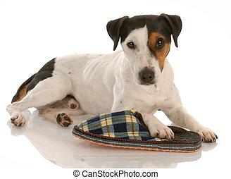 playful dog - smooth coat tri-color jack russel terrier with favorite slipper