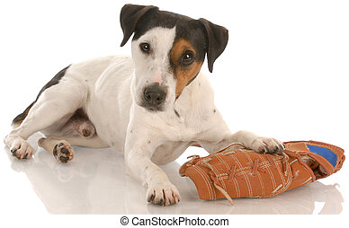 playful dog - jack russell terrier laying down with baseball...