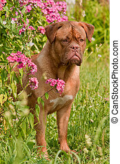 Dogue De Bordeaux Puppy is hiding in pink phlox bush in the ...