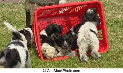Playful Dutch sheepdog puppies in laundry basket - wide shot...