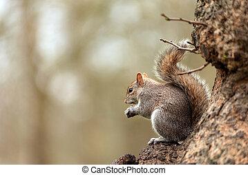 Playful grey squirrel