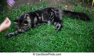 Playful Maine Coon cat in the grass