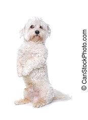 Maltese playful dog isolated on a white background