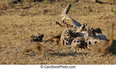 Playful meerkats (Suricata suricatta), Addo Elephant...