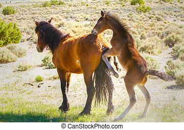 Playful Nevada Wild Horses