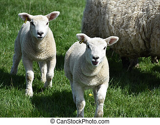Playful Pair of Two Lambs in a Grass Pasture