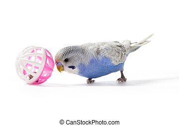Little blue parakeet playing with a toy on white background