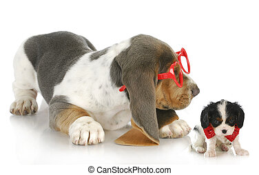playful puppies - cute bassett hound puppy playing with cavalier king charles spaniel puppy
