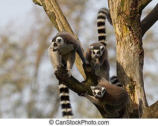 Ring-tailed lemurs (Lemur catta) in a tree