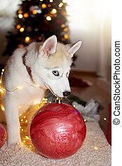 Playful siberian husky puppy dog chewing christmas decoration and covered with lights.