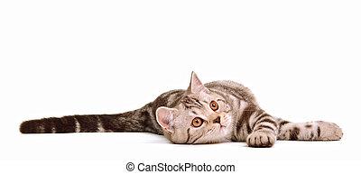 Playful skottish fold kitten lying isolated