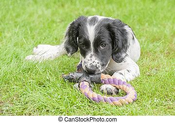 playful spaniel puppy