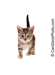 Blue eyed tabby kitten standing on a white background
