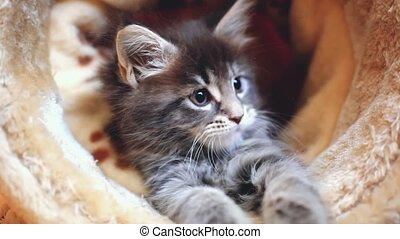 Playful sweet blue tabby color Maine coon kitten.