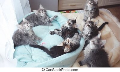 Playful tabby Maine Coon kittens lying in a cat's blue sofa and funny move their heads back and forth.