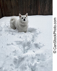 Playful white dog in snow with home fence in background