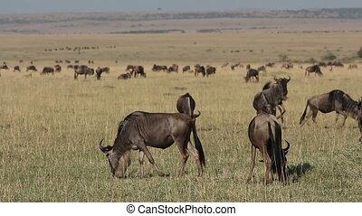 Playful wildebeest