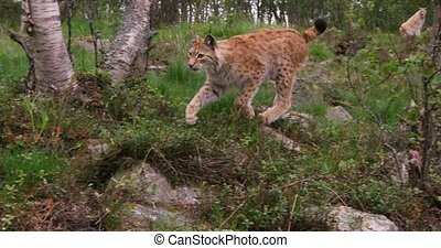Camera follows a young playful european lynx cat or bobcat running in the forest a summer evening. Unique low angle gimbal camera movement.
